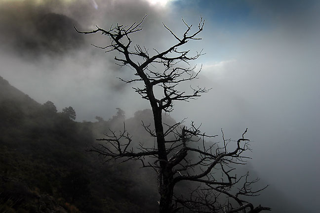 Tree in clouds, morning, Lost Mine trail, Big Bend National Park.