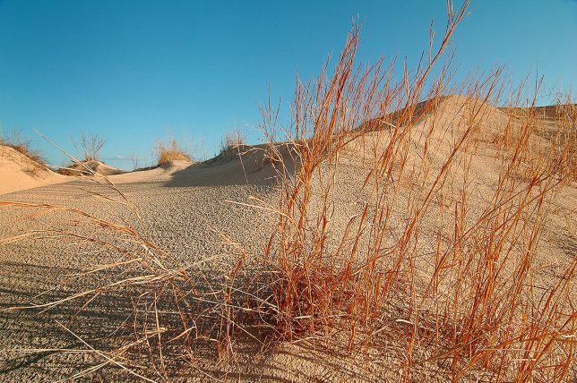 Red grasses cling to the sand at Monahans Sandhills State Park.