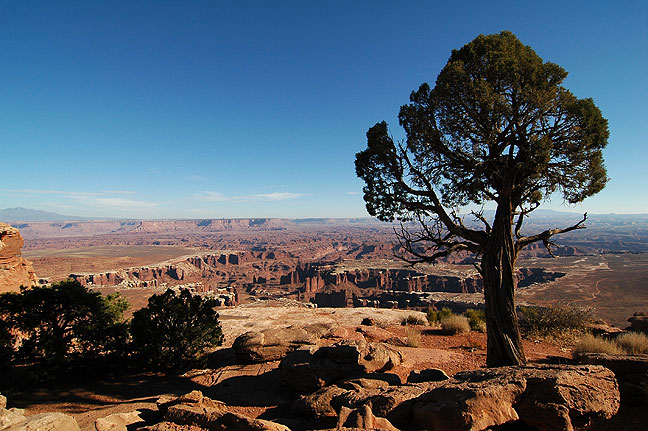 Tree on Grand View Point trail, Canyonlands National Park, Utah.