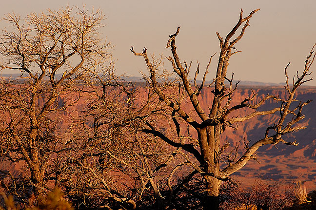 Dead tree at last light, Lathrop trail.