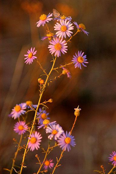 Wildflower, Lathrop trail.