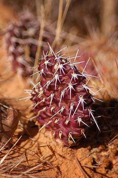 Prickly Pear cactus, Neck Spring trail, Canyonlands.