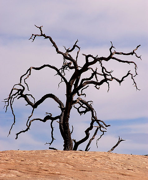 Dead Tree, Neck Spring trail, Canyonlands.