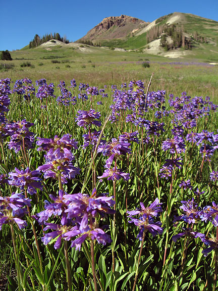 Wildflowers below Brian Head Peak.