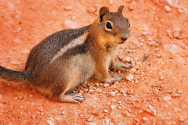 Chipmunk on the trail, Bryce Canyon.
