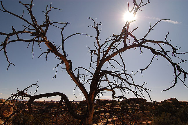 Tree and sun, Confluence Overlook trail, Canyonlands.