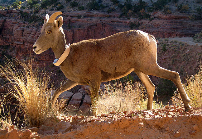 A Bighorn Sheep wears a radio collar, White Rim Road.