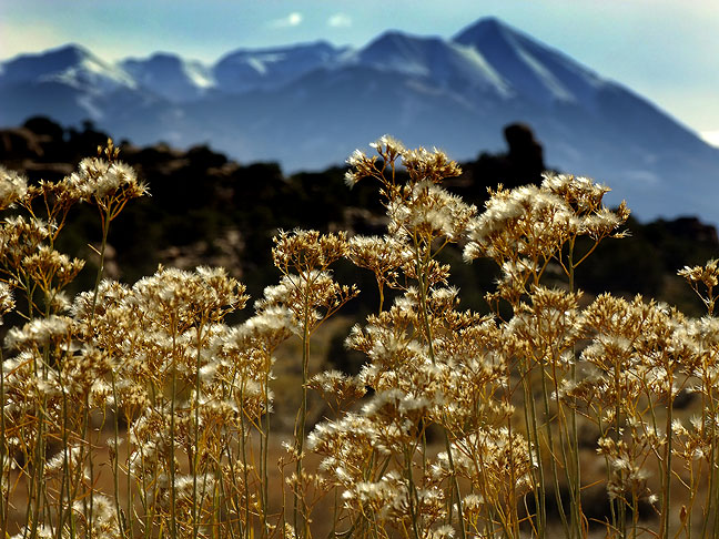 Desert vegetation with La Sal Mountains in the distance; the plant life tried to take advantage of recent autumn rains with one last growth spurt before winter.