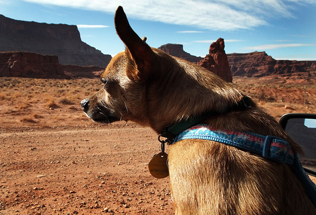 Max the Chihuahua checks out the Kane Creek Road southwest of Moab, Utah.