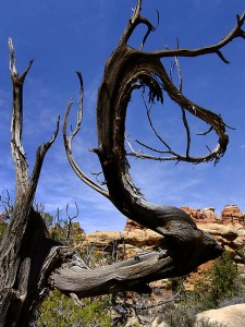 A hauntingly beautiful dead, weathered tree stands on the trail.