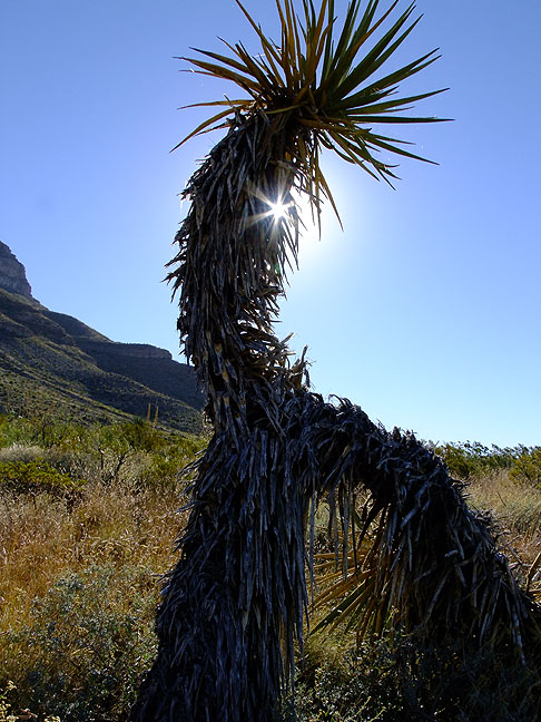 Abby and I think this yucca looks like the iconic dancing flute player Kokopelli.