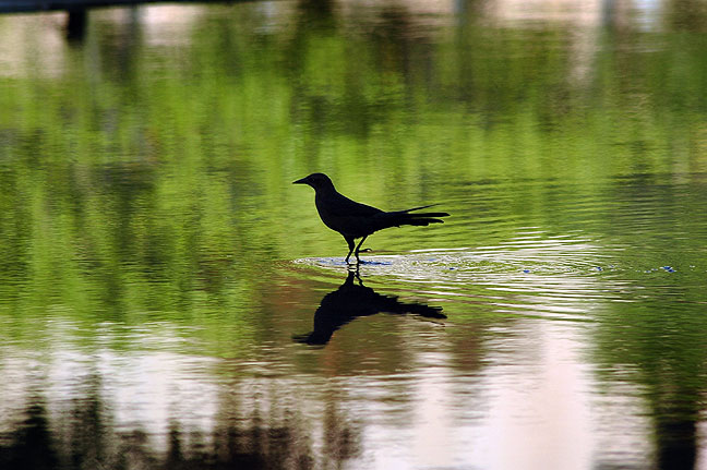 Bird silhouette in the reflecting pool.