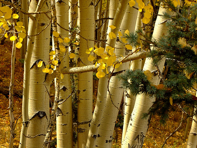 Another view of the Aspens in the Carson National Forest; since Abby and I usually travel in October, one of our traditions is photographing high country autumn foliage.