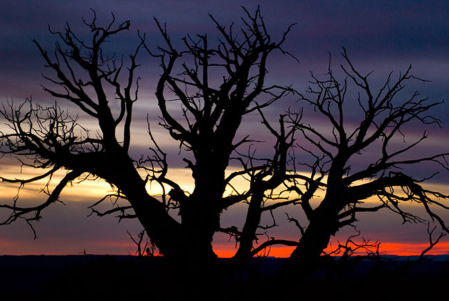 Dead Piñon Pine in The Windows section of Arches at sunset.