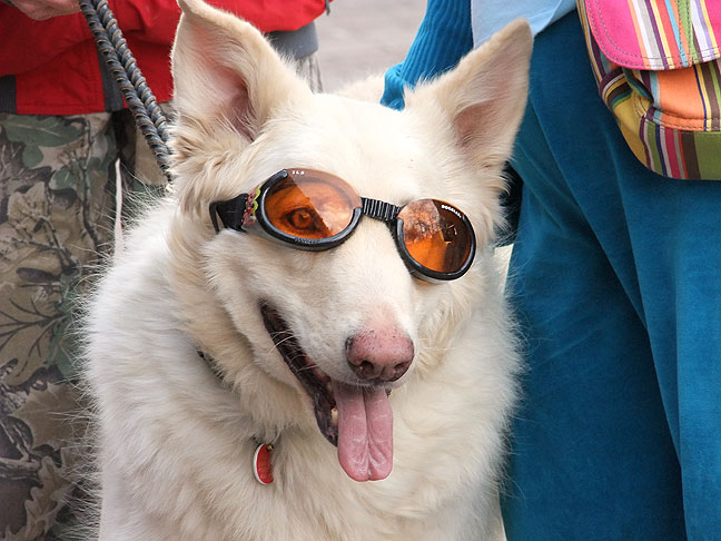 A dog in sunglasses; need I say more?