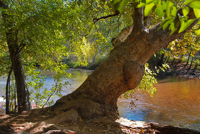 Abby photographed this beautiful old tree clinging to the banks of Oak Creek in Red Rock Crossing State Park, Arizona.