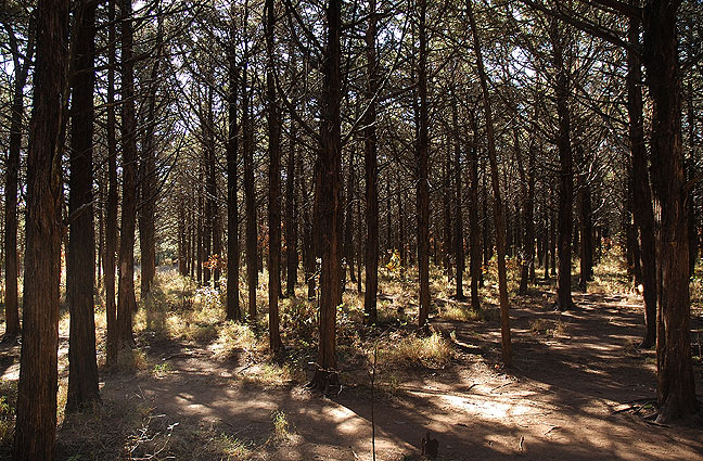 "The famous ""Parallel Forest"" was planted by Civilian Conservation Corps (CCC) workers in the 1930s."