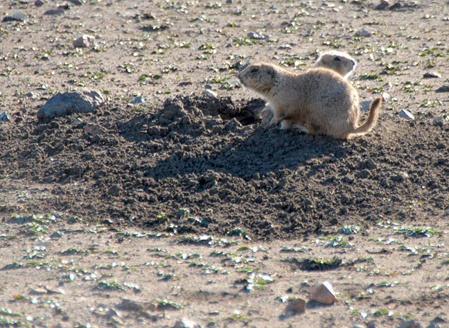 Prairie Dog at Prairie Dog Town