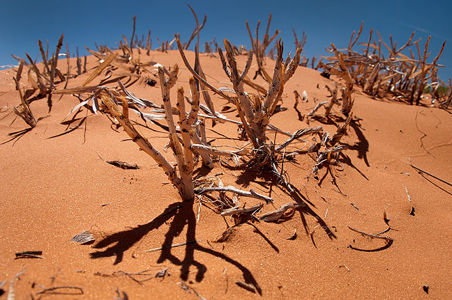 Plants cling to the loose soil at Coral Pink Sand Dunes State Park, Utah.