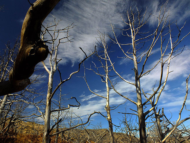 Dead trees are cast against a pure blue sky in the Charon's Garden Wilderness.