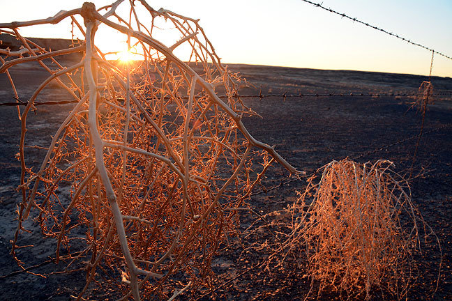Tumbleweeds cling to a barbed wire fence at the Bisti trail head at first light.