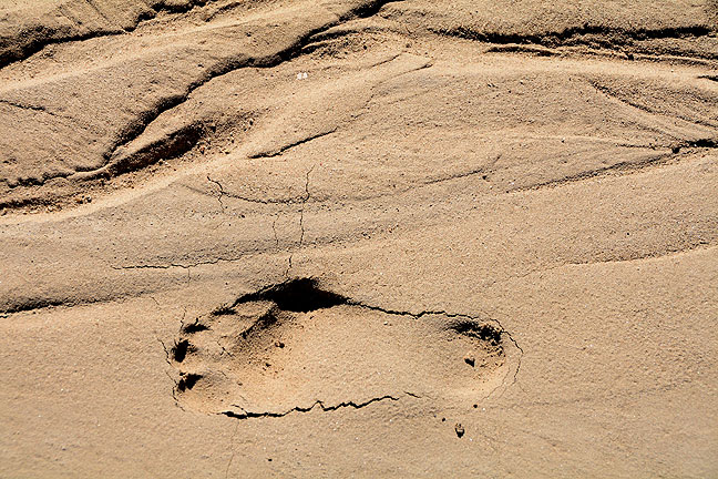 Possibly the most interesting thing about the De-Na-Zin Wilderness was tracking the wildlife, including this set of tracks.