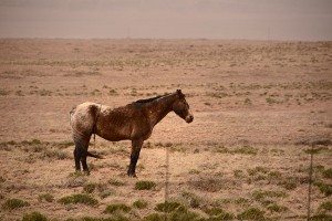 A solitary horse braces against gale-force winds and dense blowing sand and dust  in eastern Arizona.