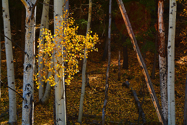A splash of sunshine on a hillside illuminates aspen leaves near Chromo, Colorado.
