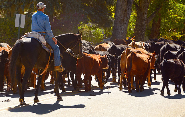 Cowboys guide their herd through the streets of Mancos, Colorado. And yes, the streets were covered in waste afterwards.