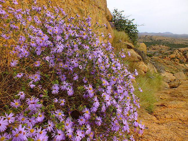 Another autumn treasure in bloom, these flowers clung to a cliff face near Sitting Rock.