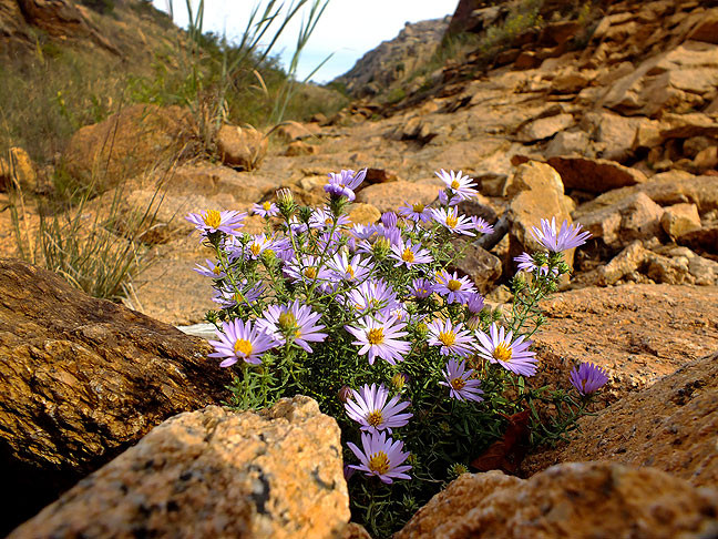 Back on the main trail at Charon's Garden, I photographed some of these plentiful flowers in the creek bed.