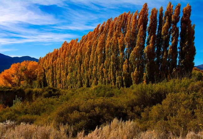 Poplars pick up strong afternoon sunshine on U. S. 491 near Cortez.