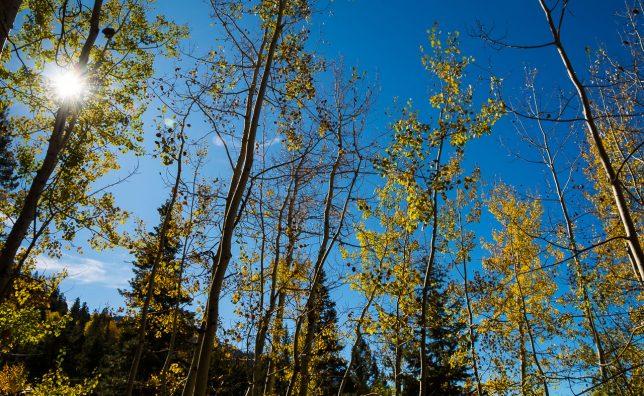 Perfect autumn sun shines on aspens along the Treasure Falls trail.