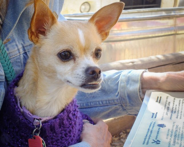 Summer the Chihuahua travelled well with us, seldom barking and always friendly with strangers.