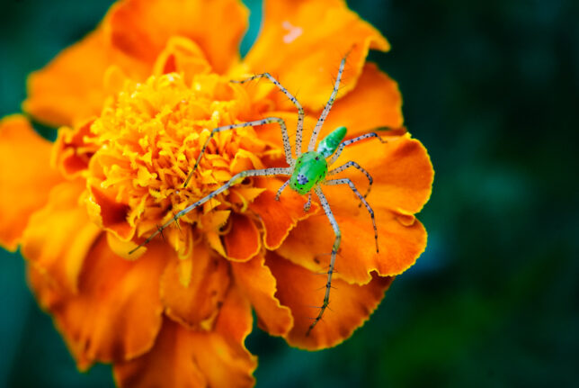 A tiny green spider hunts atop one of my marigolds in the garden.