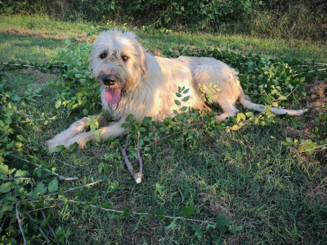 Our mighty Irish wolfhound Hawken plopped down in the middle of the elm branches and vine clippings. He even tried to eat a Rose-of-Sharon branch. Wow, he is a gorgeous dog.