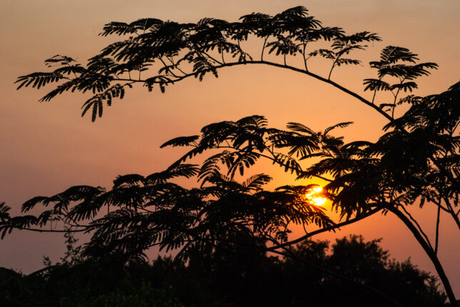 Mimosa branches are silhouettes against the red summer sun at sunset.