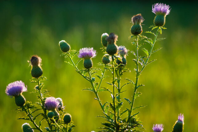 A tall thistle sways in late afternoon light.