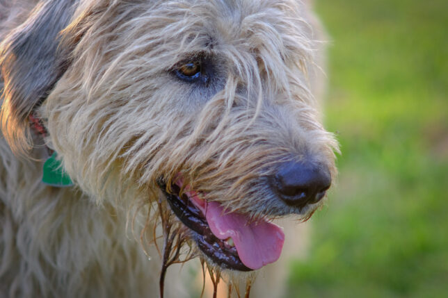 Hawken Rifle Trail, our Irish wolfhound, enjoys an evening walk.