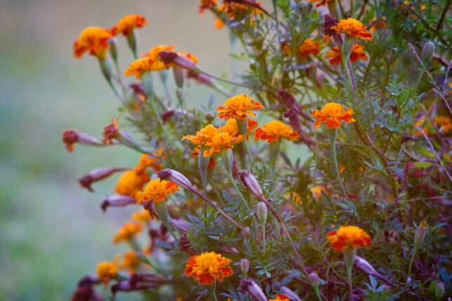 Marigold color is muted in hazy evening air.