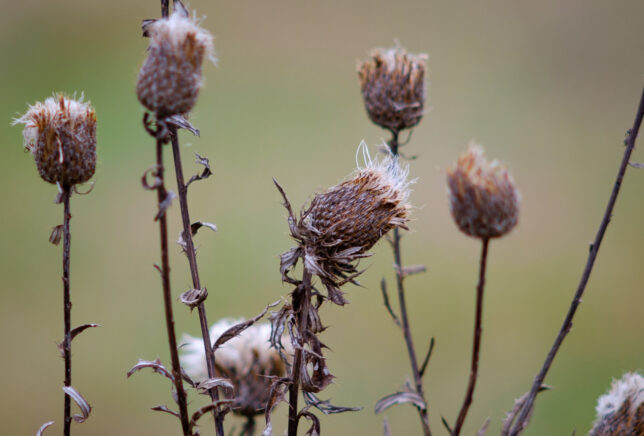 Thistle sways in the cold wing.