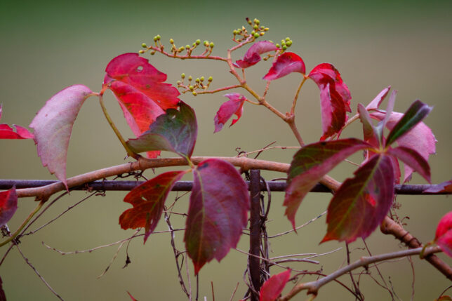 Virginia creeper vines turn red in the fall, and have tiny green berries on them.