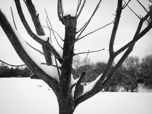 Snow clings to my pecan tree.