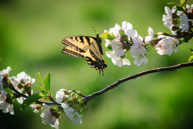 A tiger swallowtail butterfly harvests nectar from blossoms on one of my cherry trees recently.