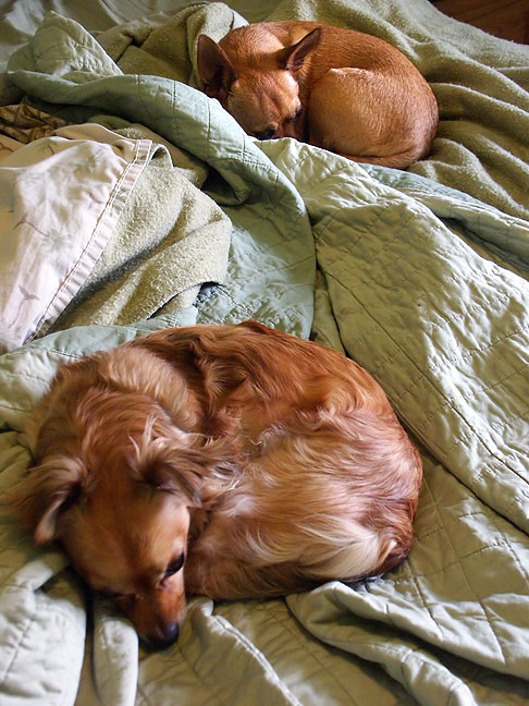 While Abby was preparing to go to town today, the dogs teamed up to be cute on our unmade bed.