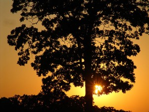 It probably goes without saying that I always have a camera with me, and that includes the times we walk our dogs. I made this image of a lone oak tree at sunset last night at the High School.