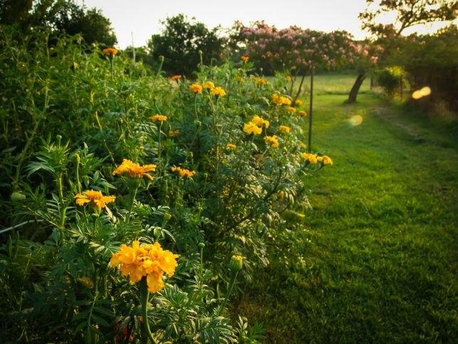 My marigolds glow in the setting sun earlier this week.