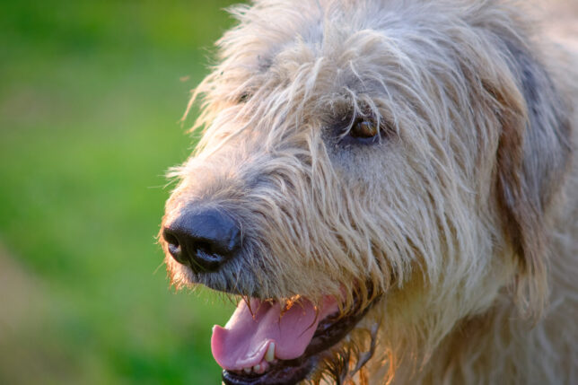 Come rain, shine, or pandemic, our mighty Irish wolfhound Hawken remains loyal and affectionate. Sometimes when it all seems too much, he listens better than anyone.