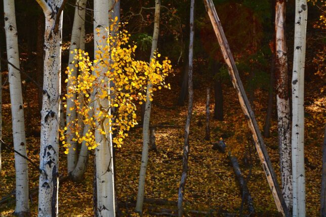 Aspens in Hillside, Chromo, Colorado, October 2014