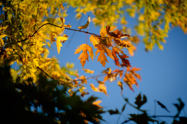 Maple leaves are set against a perfect blue sky last week.